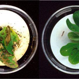 Ist grüne Gentechnik gesundheitsschädlich?