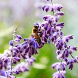 Mythenjagd (10): Erst stirbt die Biene, dann der Mensch