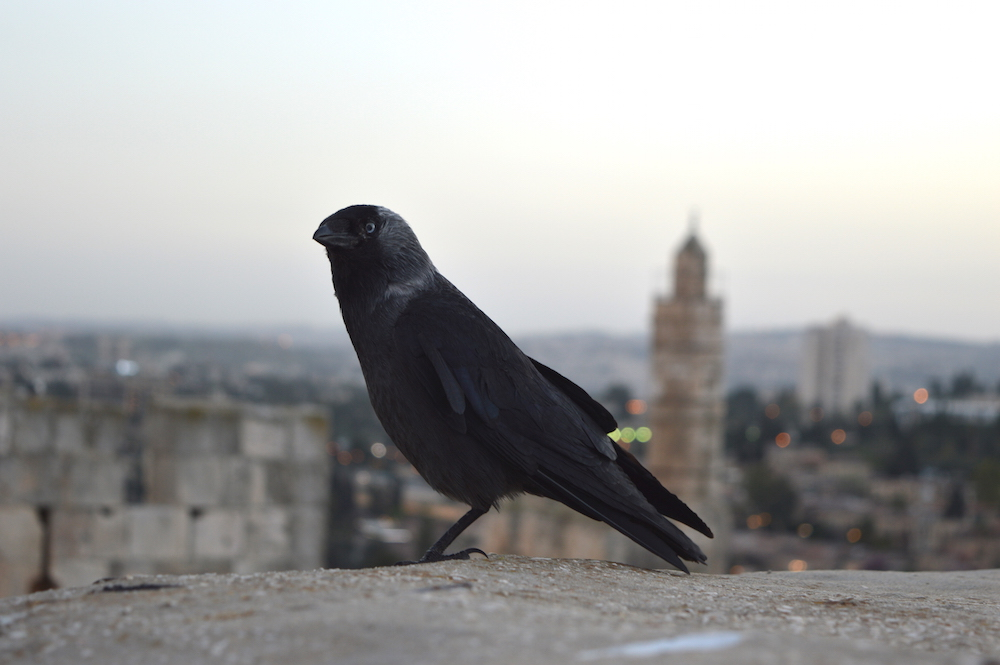 Eine Dohle vor dem Turm Davids. In Jerusalem hat fast jeder Stein eine Geschichte (Foto: Til Biermann)