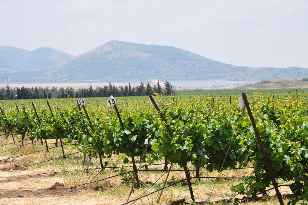 Weingut im Golan
